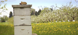 Beekeeping with Blooming Apple Trees in Background
